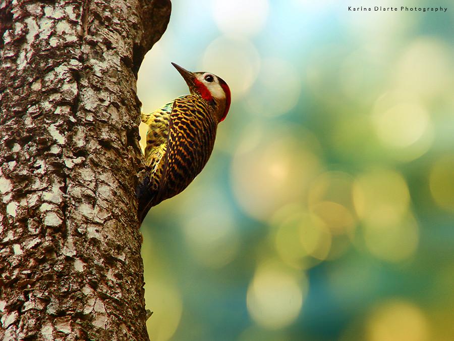 Carpintero Real / Green-barred Woodpecker