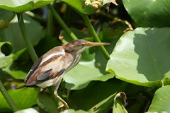 Juv. Least Bittern by mauricholas/ Maureen Leong-Kee