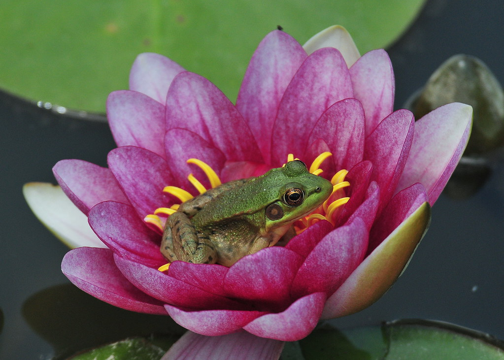 Frog Lily Pad Template Frog on Lily Pad Photos