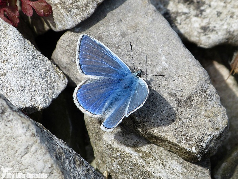 P1130435 - Common Blue, Mewslade