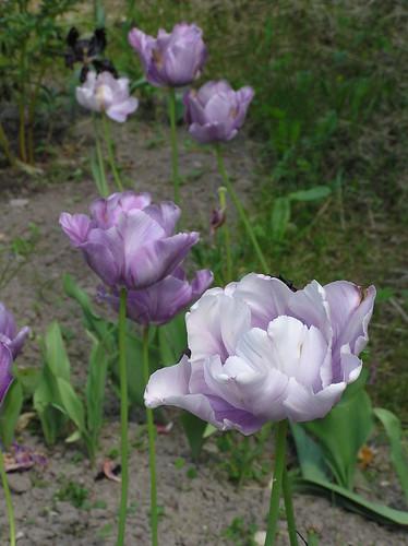 Last of tulips in mid June