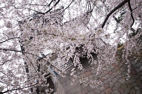 Sakura at Kanazawa Castle