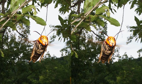 Vespa mandarinia japonica, stereo parallel view