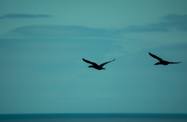 20150526-022_Howth Peninsula Cormorants in flight