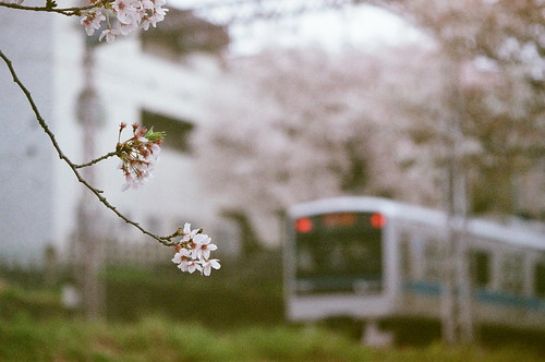 桜の実、熟す頃に