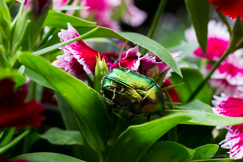 Rose Chafer Beetle on my Dianthus