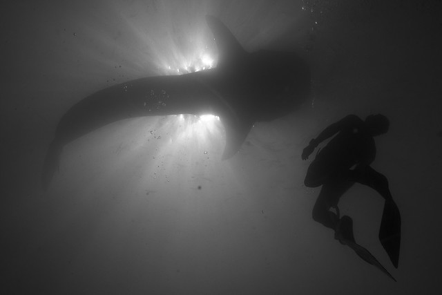 Tomaz and the Whale Shark