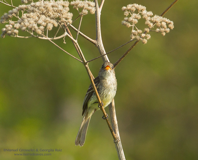 Pileated-Flycatcher5211