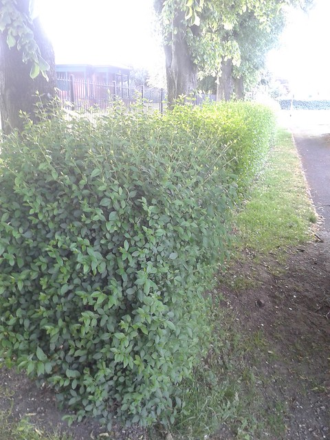 The park hedge before.