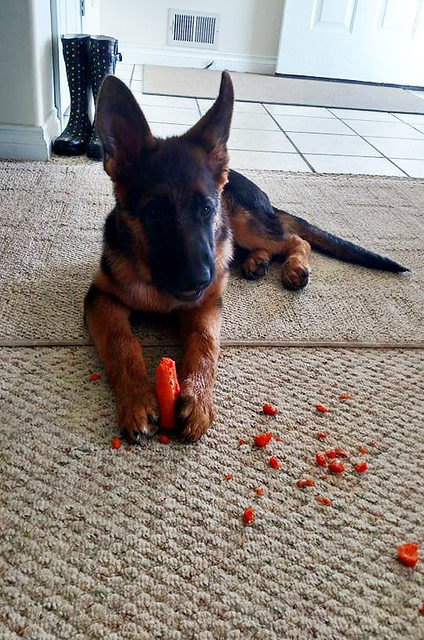 A-T Xander_Chewy_carrots 2
