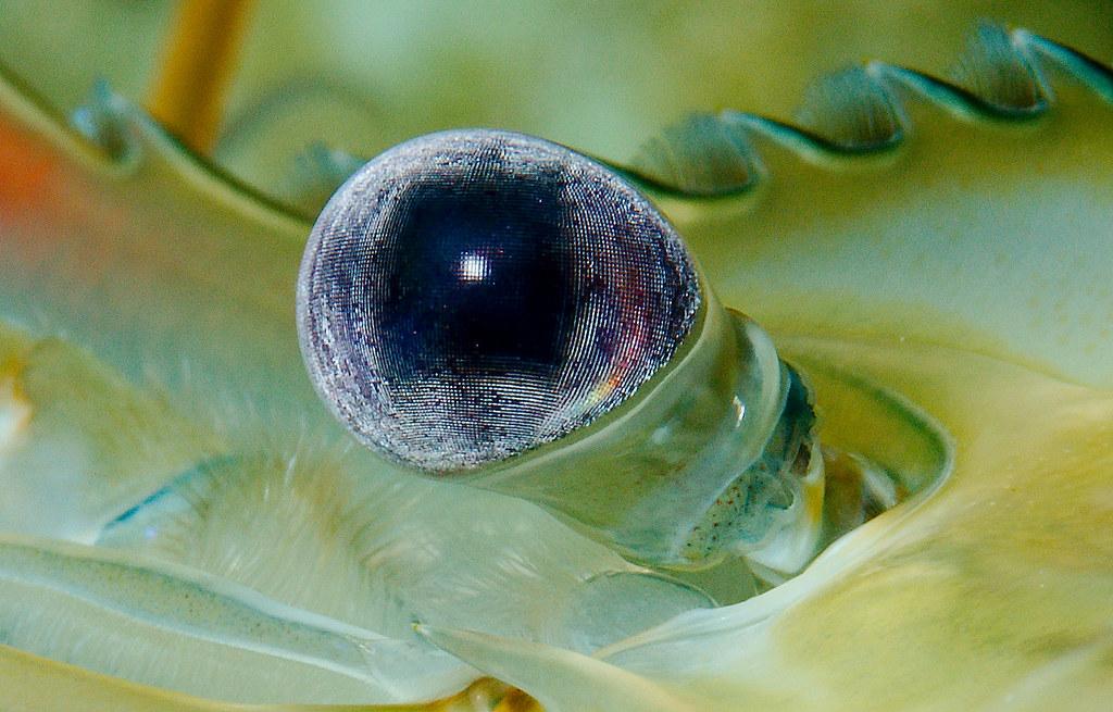 Giant Freshwater Prawn 2 (Macrobrachium rosenbergii)_v2