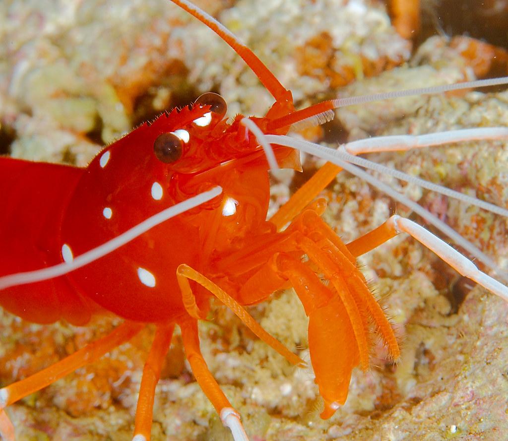White Spot Anemone Shrimp (Periclimenes brevicarpalis)_1