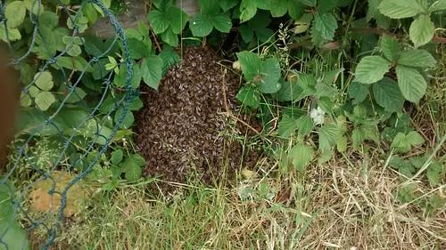 bee swarm June 15 4