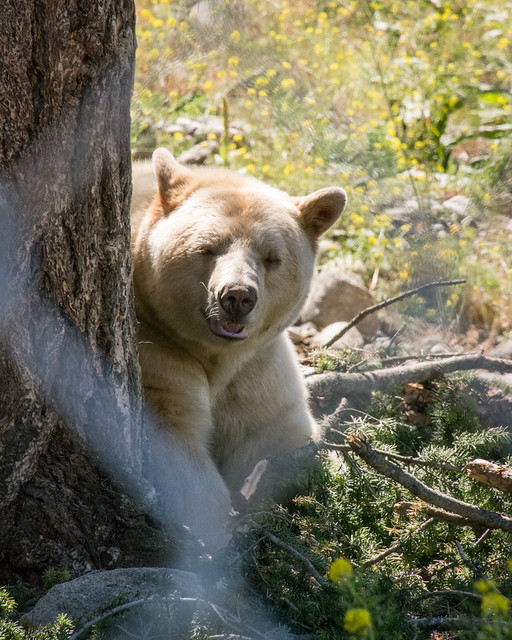 Clover the Kermode bear
