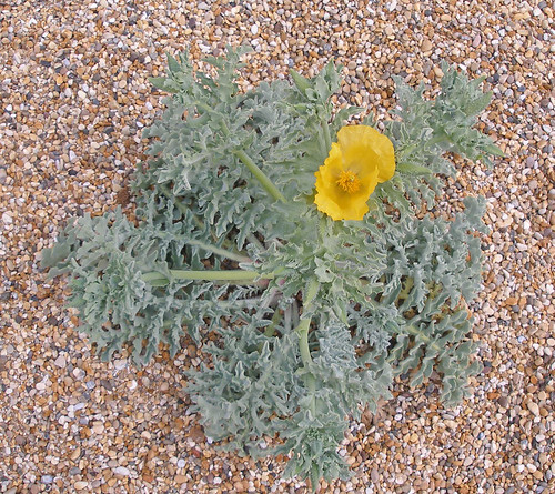 Yellow Horned Poppy 1