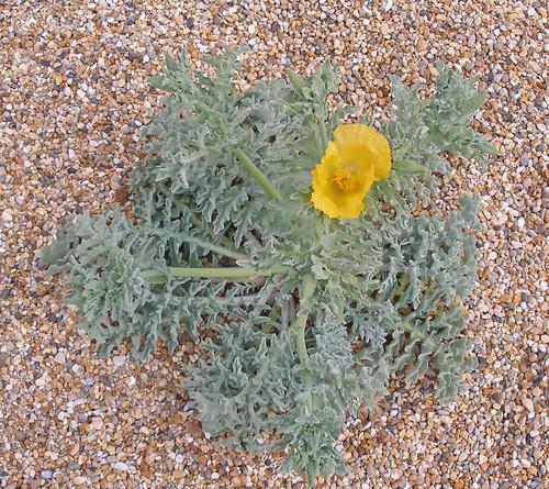 Yellow Horned Poppy 1