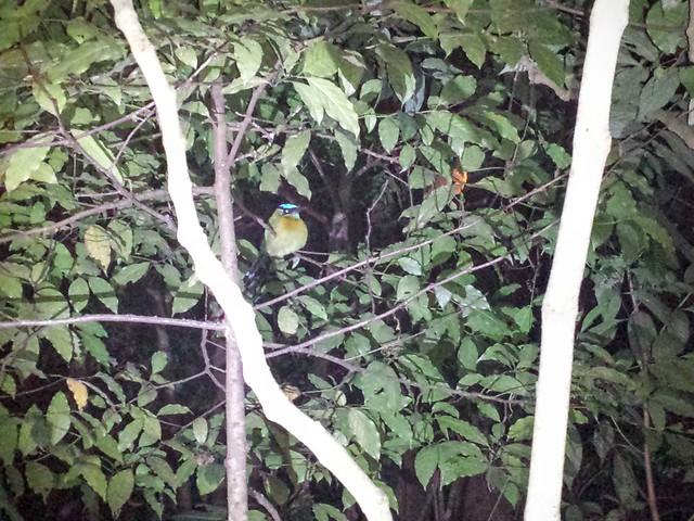 Un bel oiseau en plein sommeil, au Costa Rica