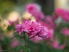 Rose at f1.4