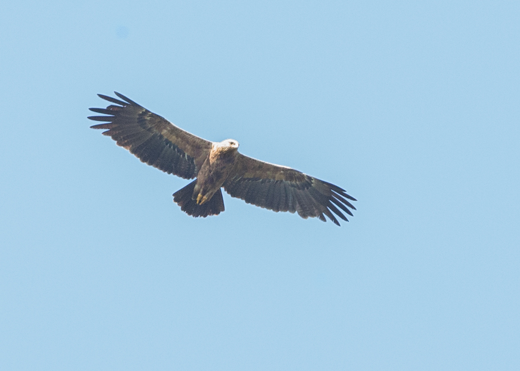 Booted Eagle    Bulgaria
