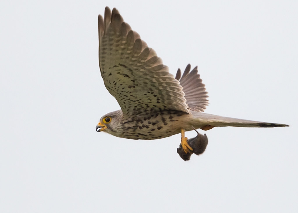 Kestrel   Bulgaria