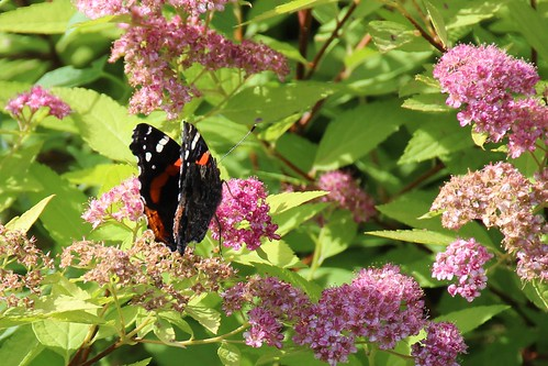 IMG_5658_Red_Admiral_Butterfly