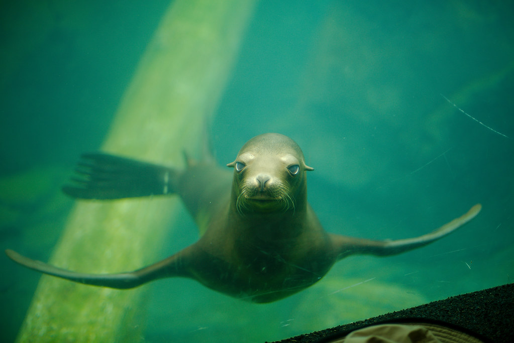 California Sea Lion (Zalophus californianus)_22