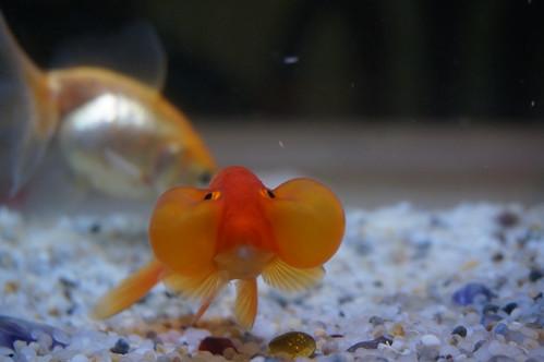 水泡眼金魚