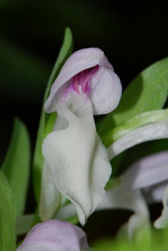 Galearis spectabilis