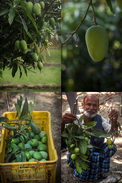 Mango grove