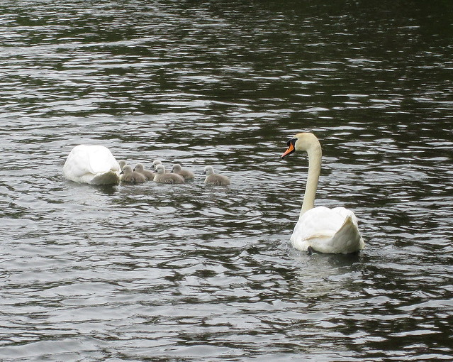 This Year's Cygnets 2