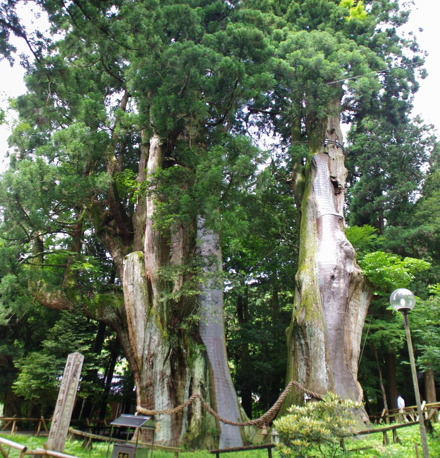 杉の大杉2