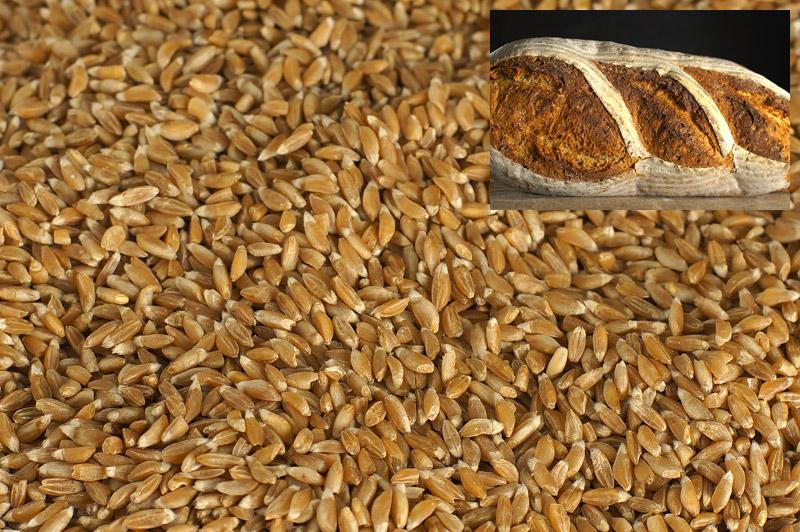 Пшеница_DSC00214