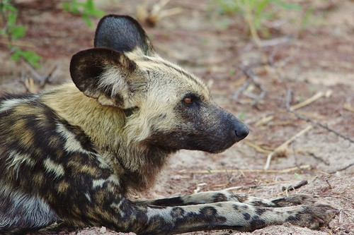 (Lycaon pictus) Painted Wild Dog Lying Down