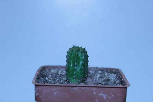 Euphorbia obesa x meloformis. Semis mai 2012