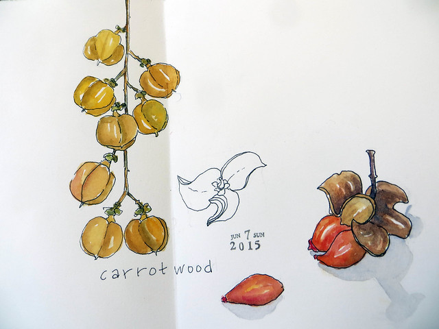from my sketchbook ~ Carrotwood