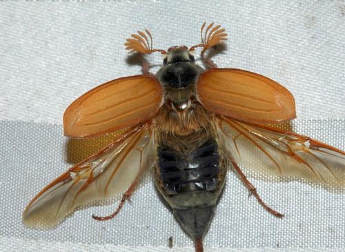 Maybug 7482