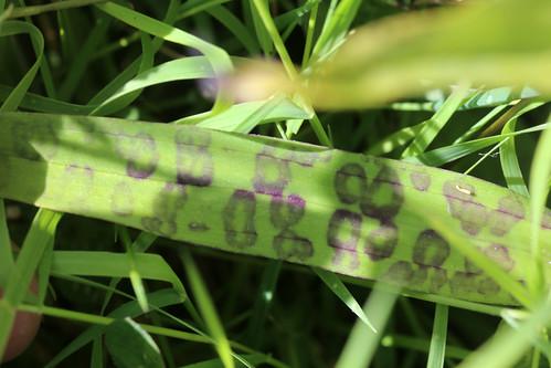 Leopard Marsh Orchid Dactylorhiza praetermissa var. junialis