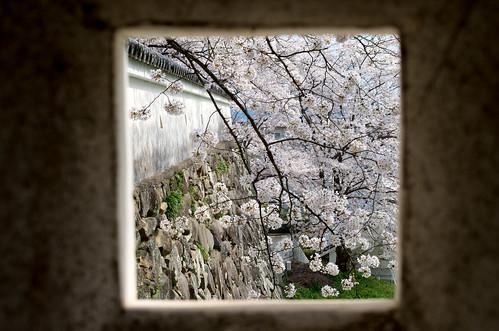 狭間からの桜