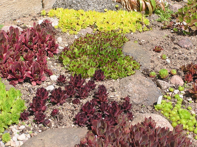 Sempervivum Bed