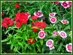 Various coloured flowers of Dianthus barbatus (Carnation, Pink, Sweet William), Nov 3 2013