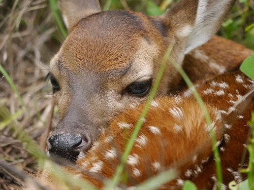 White-tailed Deer Fawn - 2