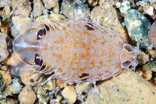 Isopod from the Sea of Japan | by Alexander Semenov