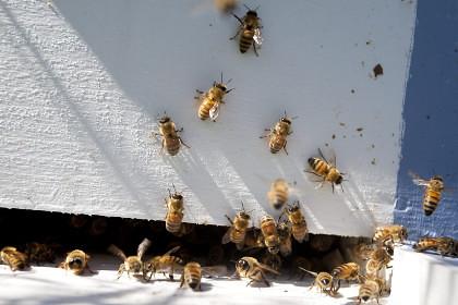 Житель Арізони вижив після укусів тисячі бджіл