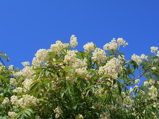 Terttuseljan (Sambucus racemosa subsp. pubens) kukintaa 30.5.2015 Meilahden arboretum Helsinki