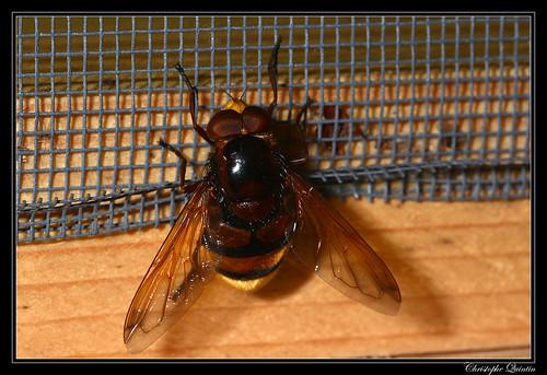 Volucella zonaria mâle