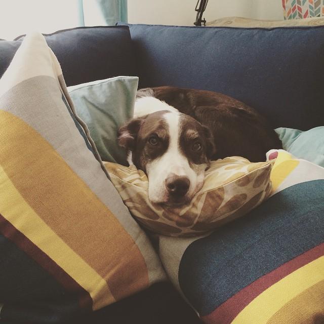 Comfy. #dogsofinstagram