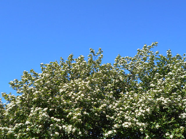 Marja-aronian (Aronia mitschurinii) kukintaa 12.6.2015 Meilahden arboretum Helsinki
