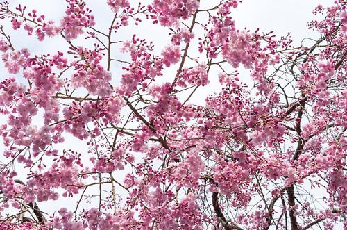 枝垂桜 1