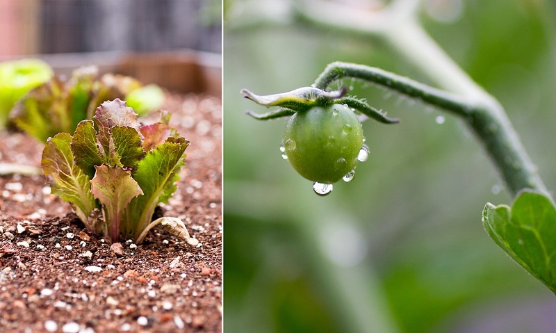 lettuce + early green tomato
