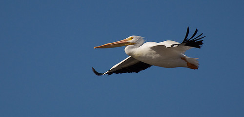 Adult American white pelican in flight | by USFWS Pacific Southwest Region